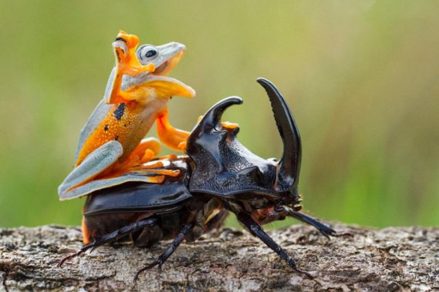 Frog-Riding-Beetle-1